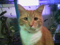 cameraphone orange cats phoenix cat ginger tabby fishtank fifi lgcameraphone
