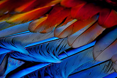 Feather Light (| HD |) Tags: blue red color bird 20d nature topf25 up canon bravo close natural personal feather favorites parrot favourites hd creature favs darwish hamad catchy oneword onewordfeathered oneword20050918