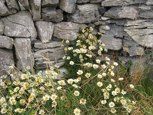 Wildflowers and Stone Wall, Inis Meáin
