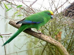 orange-crowned parakeet (kakariki)