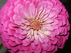 Pretty in PINK! (S h e l l y) Tags: pink curls prettyinpink flowers flora nature zinnia