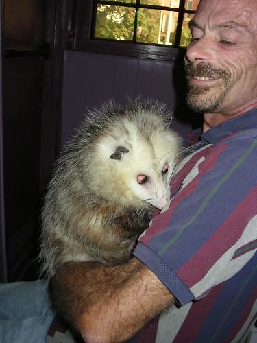 opossum pet kullee