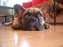 DSCN0953 (benster1970) Tags: puppy puppies alf bulldog frenchbulldog frenchbulldogs bouledoguefrançais bouledogue