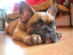 DSCN0948 (benster1970) Tags: puppy puppies alf bulldog frenchbulldog frenchbulldogs bouledoguefrançais bouledogue