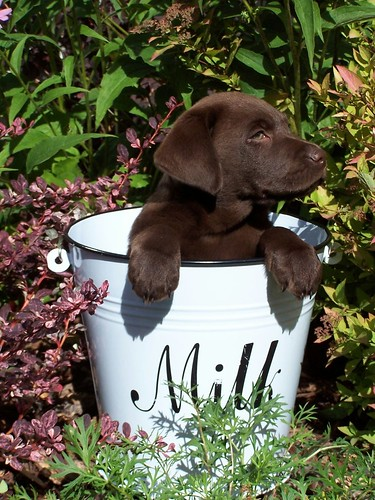 Chocolate Labrador: Also makes a nice Valentine's Day gift