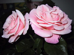 PINK ROSES - 2001