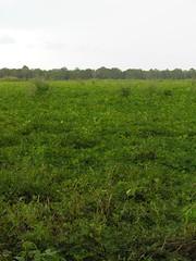 Field of Unharvested Peanut Plants (Old Shoe Woman) Tags: usa georgia southgeorgia dilosep05 peanuts agriculture crops peanutfield green seasons dilosept05