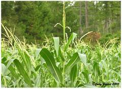 Corn Growing Tall (Old Shoe Woman) Tags: usa georgia southgeorgia dilosep05 crops agriculture corn cornstalks cornfield seasons dilosept05