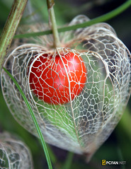 Chinese Lantern Plant  (DigiPub) Tags: red plant ilovenature topv555 topf75 balloon explore lantern chineselanternplant gettyimages          physalisalkekengi