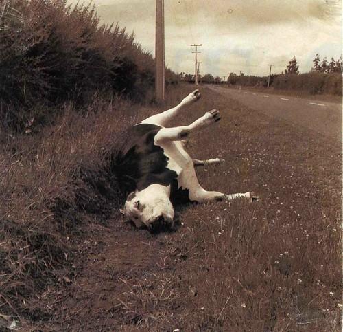 Resultado de imagen para fotos de una vaca podrida