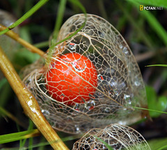 Chinese Lantern Plant with Droplets (DigiPub) Tags: plant explore droplet lantern chineselanternplant         physalisalkekengi gtaggroup