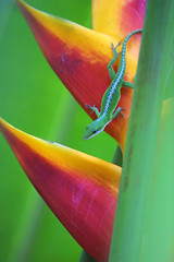 Green Anole on Heliconia (Belltown) Tags: red orange green nature landscape outdoors hawaii kauai gecko heliconia hanalei interestingness488 i500 explore5oct2005 photodomino216