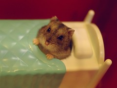 hello (pico*) Tags: rodentia pet animal hamster