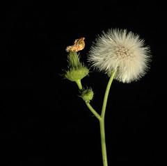 照片 1568 (hs_yin) Tags: taiwan nature macro green flowers flower dandelion