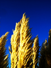 pampas#3 (breakforlove) Tags: yellow bleu botany pampas ilikegrass breakforlove