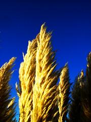 pampas#3 (breakforlove) Tags: yellow bleu botany pampas ilikegrass breakforlove