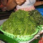 Bulbous Seaweed for Sale