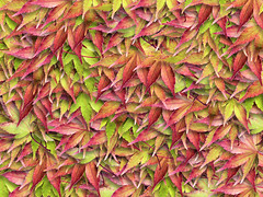 Lots of leaves... (Robert Silverwood) Tags: autumn fall colors leaves topv111 collage 1025fav wow wonder ilovenature psp maple colours manipulation snap acer paintshoppro picturetube 20topfaves2005