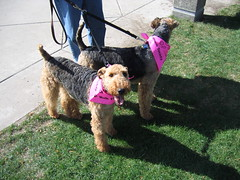 It's just a bark in the park... (visioncity) Tags: cute dogs fun illinois cool peoria pupies airdale wasniowski visioncity