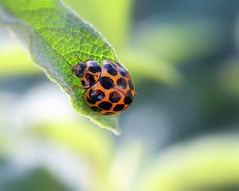 IMG_0305 (young_einstein) Tags: canon 20d 100mm macro ladybug ladybird nature insect bug spots orange dof leaf green