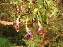 New Zealand tree fuchsia (Mollivan Jon) Tags: blue red newzealand plant flower green nature fuchsia canterbury pollen bankspeninsula akaroa onagraceae hinewai mollivan bluepollen fuchsiaexcorticata newzealandendemic bpphoto kotukutuku viridaeplantaegreenplants treefuchsia taxonomy:genus=fuchsia taxonomy:binomial=fuchsiaexcorticata taxonomy:common=treefuchsiakotukutuku