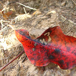 Red Leaf thumbnail