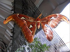 Giant moth (Attacus atlas) resting on net at our backyard