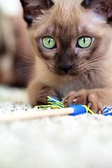 Java at Play (Barb Henry) Tags: pet macro green animal cat fur nose java intense eyes kitten feline serious kitty siamese whiskers tonks exotic your tonkinese stare missy purr meow cashmere oriental tonk favs intensity showcat impressedbeauty barbhenryphotograpy