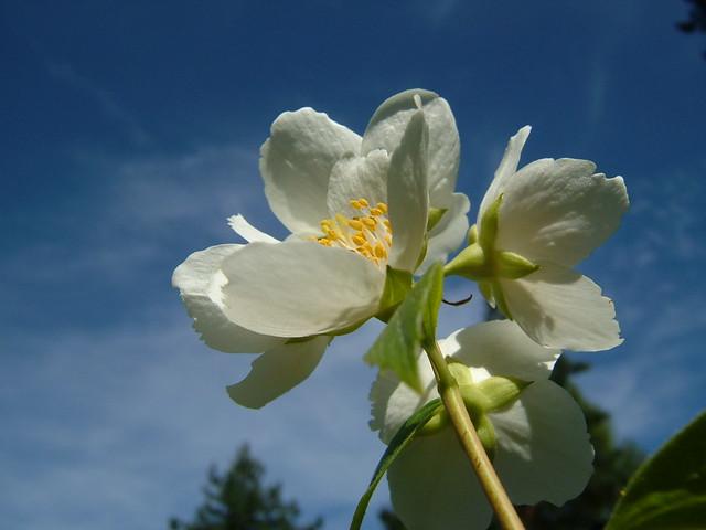 ปลูกดอกมะลิ ถวายแม่ ดอกไม้มงคล Jasmine Flower