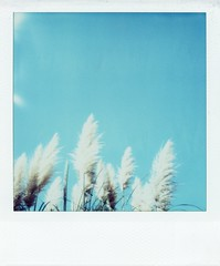 autumn sky (rahen z) Tags: polaroid sx70 film polaroidsx70 instantfilm instantcamera sx70film autumn sky silvergrass tokyo fall nature  japan 510fav 100v10f 1025fav 2550fav