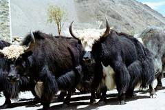 YaK (WASABIdesign) Tags: world trip nepal mountain green animal cow asia foundation himalaya wasabi ecological yakt wasabidesign samanthaschmidt wasabidesignch wasabidesignnet
