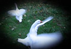 Amazing Grace (zenera) Tags: zenfli nikon fall autumn garden grass geese birds wings white goosetave esmerelda flapping motion movement