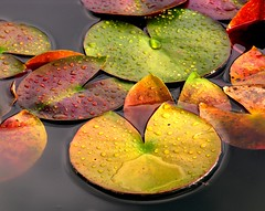Colors (:Linda:) Tags: autumn plant flower reflection water germany leaf pond flora october village waterlily herbst pad drop thuringia explore pacman droplet reflexion autumnal wassertropfen tropfen waterplant wasserlil