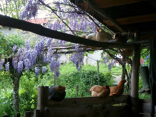 Garden wisteria near the home-made goat house