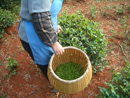 The catechins in green tea are not the only healthy polyphenols of tea.