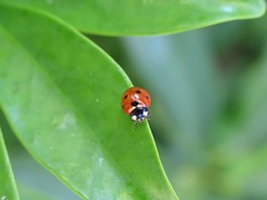 Walking a fine line (Curly Top) Tags: macro green nature bug insect leaf ladybird ladybug upclose