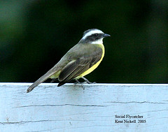 Social Flycatcher (Myiozetetes similis) (mountainpath2001) Tags: belize socialflycatcher myiozetetessimilis
