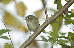 The elusive one (martytdx) Tags: birds warblers reguluscalendula pennypackerpark female rubycrownedkinglet