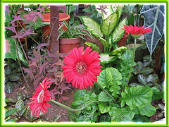 Gerbera jamesonii among other plants in our garden bed