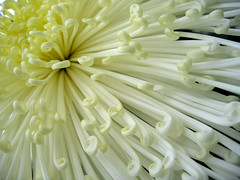菊 chrysanthemum (birdfarm) Tags: chicago lincolnpark chrysanthemum flower 菊