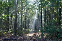 soignes022 (atomium) Tags: arboretum tervuren arbres fort forest soignes belgium brussels sun morning fall nature