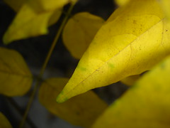 Yellow (Lanna Grace) Tags: aiken yellow leaf leaves hitchcockwoods sc fall autumn top20nature
