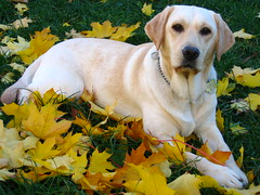 Ramona (WisDoc) Tags: autumn dog fall colors leaves yellow topv111 canon bravo labrador searchthebest quality top20dogpix top20dogpixhalloffame 5bestdogs ramona top20hallfame a80 wisdoc