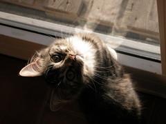 sunna.. (arny johanns) Tags: pet cats pets cute beautiful face animal animals cat kitten sweet gray kitty kisa kttur grays sunna irrestistible catsandwindows