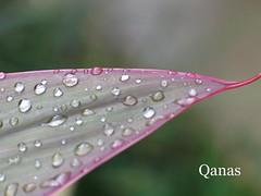 Drops (.ღ♫°Qanas°♫ღ.) Tags: drops wow leaf interestingness
