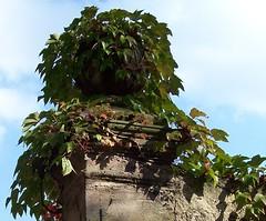 Mauerpfosten mit Wein (happycat) Tags: wall germany weimar thringen leaf vine we belvedere blatt mauer wein parthenocissus wilderwein jungfernrebe belvedereinweimar