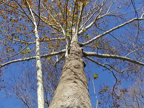 sycamoretree cocanal glen echo maryland