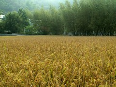 6 (judie35) Tags: taiwan sanyi rice fall field