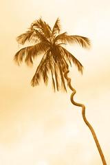 twisted (Farl) Tags: zanzibar culture travel tanzania africa coconut twisted tree nature anomaly abnormality cocosnucifera trunk sky sepia