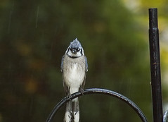 Frickin' Rain (martytdx) Tags: autumn rain birds topv111 1025fav backyard fall2005 feeder bluejay grumpy cyanocittacristata top20funniest interestingnessity